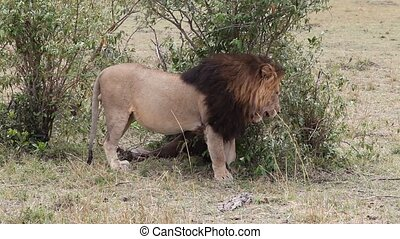 Lion in Africa Leo throws ground - Lion in Africa Leo throws...