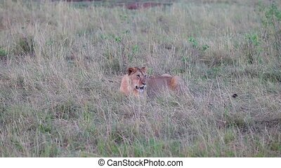 Lion sitting in the grass Evening