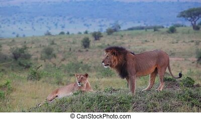 Lion and Lioness on a hill. Masai Mara. Evening.