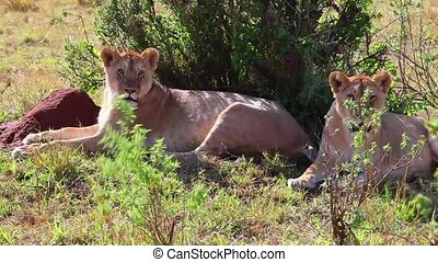 Two lionesses sitting in the shade of the trees after the...