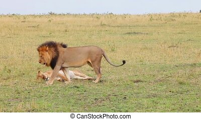 Masai Mara National Reserve, Kenya. Mating lions.