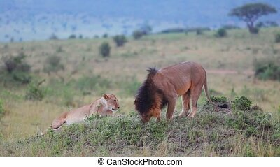 Lion sniffing the grass Checks marked territory