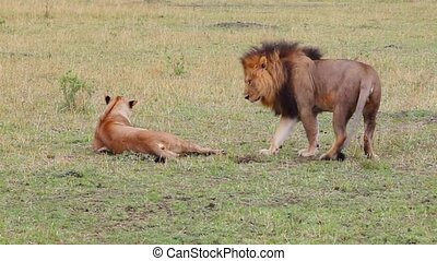Lion and lioness mate. Masai Mara National Reserve, Kenya...