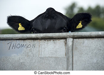 What No Field - Cow Peering over a stall at Perth Show 2014,...