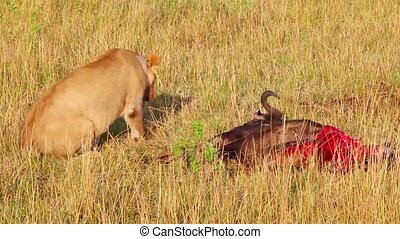 Lioness wounded while hunting in the left hind leg.