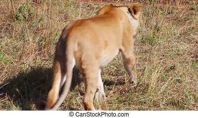 Lioness moves away from the camera.