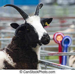 Jacob Sheep in a pen at Perth Show 2014, Perthshire,...