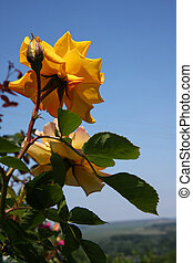Yellow rose - Close up of yellow rose and buds in village...