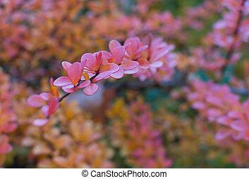 Pink autumn leaves Berberis vulgaris twig in October,...