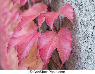 Red Ivy Parthenocissus quinquefolia. Clinging red autumn...