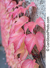 Red Ivy Parthenocissus quinquefolia Clinging red autumn...