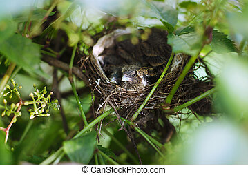 Little Bird Nestlings in the branch closeup