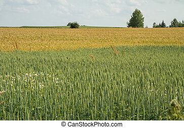 harvest - Golden wheat field before the harvest of the...