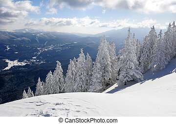 Winter landscape with snow covered pine trees.