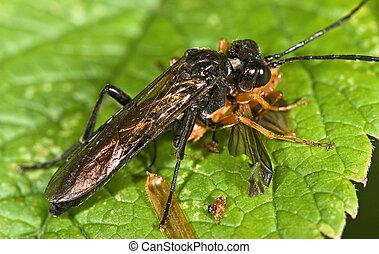Macro photo of sawfly order Hymenoptera, Suborder Symphyta...