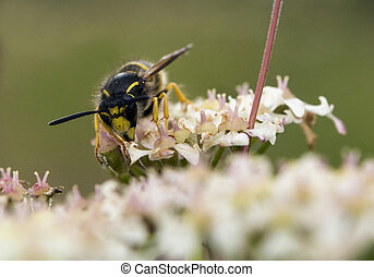 Tree Wasp - Dolichovespula sylvestris - Tree Wasp collcting...