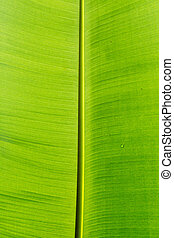 Banana leaves  background.