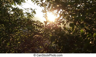 Apple Tree at Sunset HD - Apple Tree at Sunset Rays of Light...