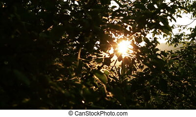 Apple Tree at Sunset Slow Motion - Apple Tree at Sunset Rays...