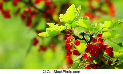 Fresh Red Currant Berries HD - Fresh Ripe Red Currant...