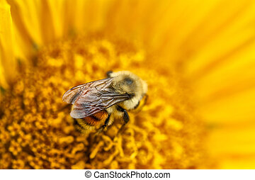 Bumble Bee on a Sunflower - A Macro shot of a Bumble Bee on...
