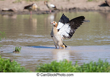 Egyptian goose standing in water flapping wings to dry -...