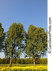 Trees in cole seed - Trees in landscape with cole seed