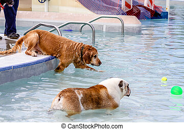 Dogs Swimming in Public Pool - Golden Retriever at swimming...