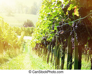 Rape grapes in a vineyard