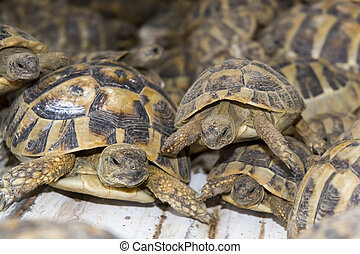 Crowd of smuggled Hermann's tortoises (Testudo hermanni) -...