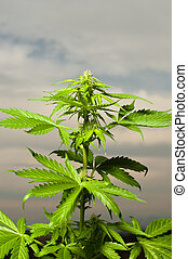 marijuana plant - a marijuana plant almost ready to harvest