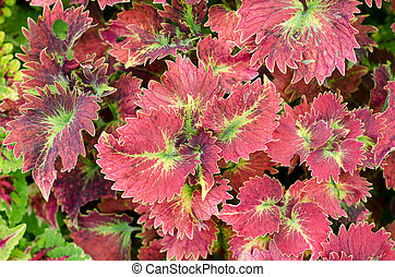 Coleus leaf background