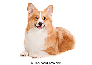Brown and White Corgi - A cheerful brown and white Corgi...