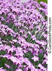 Carpet of purple mini carnation flowers - A bunch of purple...