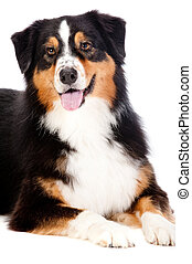 Black and Brown Australian Shepard - A cheerful black and...