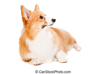 Brown and White Corgi - An adorable brown and white Corgi...
