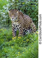 Jaguar - Close up of a Jaguar (Panthera onca) in forest