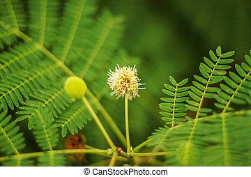 Earleaf acacia - Acacia auriculiformis, commonly known as...