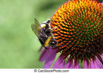 Bumblebee On An Echinacea - A busy bumblebee on an Echinacea...