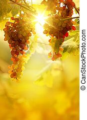 Art Ripe grapes on a vine with bright sun background....