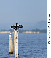 A Little Cormorant on post