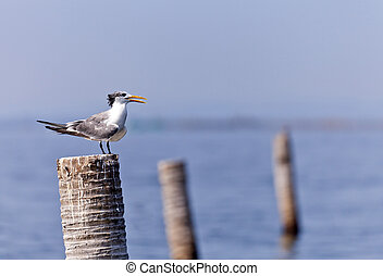 A Great Crested Tern on coconut stub.