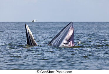 Bryde's whale in Thailand - Bryde's whale eating anchovy...