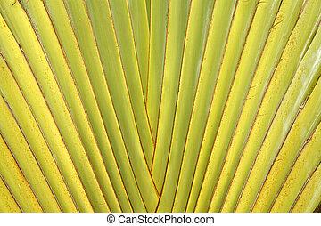 Leaf stalk of Traveller Palm - Details of leaf stalk of...