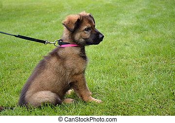 Schaeferwelpe sitzt in der Wiese - Shepherd puppy sitting in...
