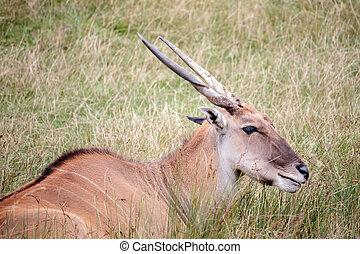 oryx),  (taurotragus,  Eland, común
