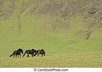 Icelandic Horses In A Flax Filled Field - Three Icelandic...