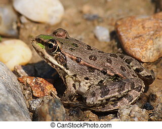 European Marsh Frog, Rana ridibunda