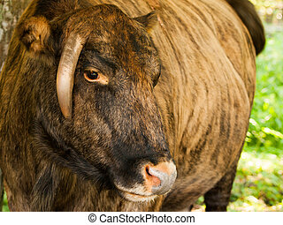 Zubron - hybrid of domestic cattle and european bison wisent...