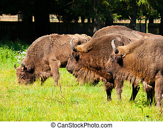 European wood bison herd - Endangered european wood bison...